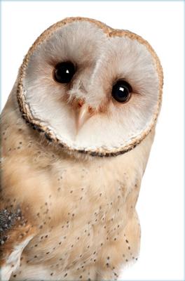cap-owl