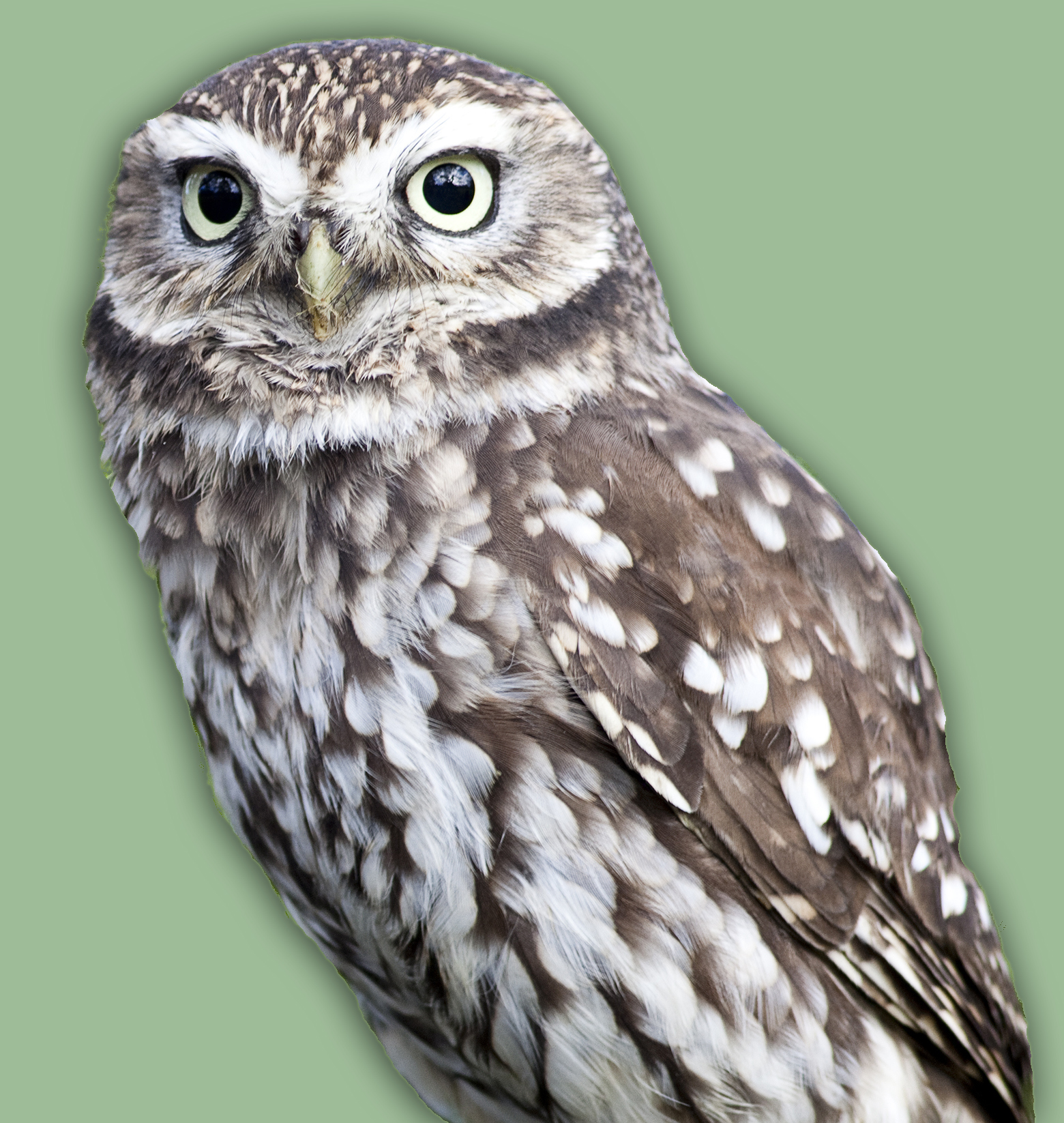 Little Owl (